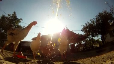 Grains being thrown to chickens — Stock Video