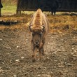 Bison, front view - Stock Photo