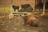 Bison sitting — Stock Photo
