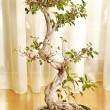 Bonsai plant — Stock Photo