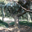 Massive tree on green field - — 图库照片 #13307654