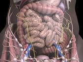 Los órganos internos — Foto de Stock