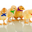 Colorful gang - small chicks with scarves — Stock Photo