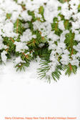 Fir branches with melting snow — Stock Photo