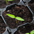 Spring seedling growing - Stock Photo