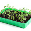 Young tomato plants in germination tray — Stock Photo #19006913