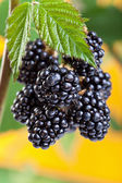 Blackberries ripening on the shrub — Stock Photo