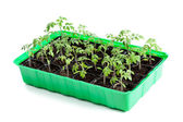 Young tomato plants in germination tray — Stock Photo