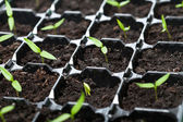 Many young seedlings in germination tray — Stock Photo
