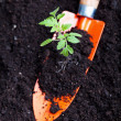 Young tomato seedling on small spade — Stock Photo