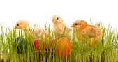 Easter chickens in the grass with colorful eggs — Stock Photo