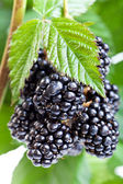 Fresh ripe blackberry on the twig — Stock Photo