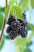 Blackberries growing and ripening on the twig — Stock Photo