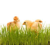 Spring chicken in fresh grass - isolated — Stock Photo