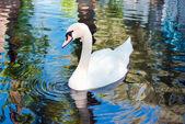 Witte zwaan op water — Stockfoto