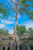 Big tree at Ta Prohm Temple — Stock Photo