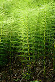 Equisetum telmateia — Stock Photo