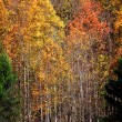 Tall colorful Aspen trees — Stock Photo