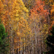 Stock Photo: Tall colorful Aspen trees