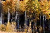 Tall Aspen trees — Stock Photo