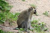 African green monkey — Stock Photo