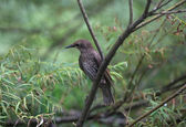 Starling bird — Stock Photo