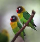 Yellow-collared Lovebird — Stock Photo