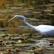 Snow white egret — Stock Photo