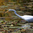 Snow white egret — Stock Photo #19479093