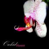 Orchid on black background — Stock fotografie