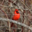 Stock Photo: Northern Cardinal