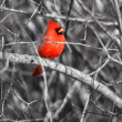 Cardinal bird on the branch — Stock Photo