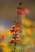 Cardinal flowers — Stock Photo
