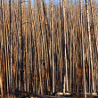 Stock Photo: Tall burnt trees