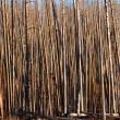 Tall burnt trees — Stock Photo