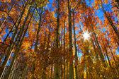 высокие деревья осины — Стоковое фото