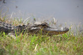 Alligator by the pond — Stock Photo