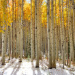 Stock Photo: Aspen trees