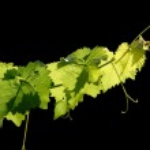 Grape vine on black background — Stock Photo #38053129