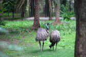 Emu birds — Stock Photo