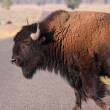 American bison — Stock Photo #42262691
