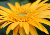 Yellow daisy flower — Stock Photo
