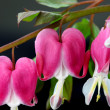 ������, ������: Bleeding hearts