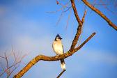 Blue Jay bird — Stock Photo