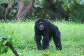 在森林里的大猩猩 — 图库照片