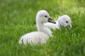 Two cute baby Swans — Stock Photo