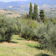 Olive grove — Stock Photo #12771293