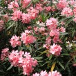 Pink Oleander flowers — Stock Photo