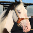 Stok fotoğraf: Portrait of white dapple horse