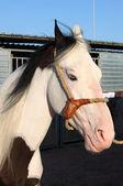 Ritratto di un bianco cavallo leardo — Foto Stock